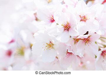 cherry blossom - close-up of cherry blossom