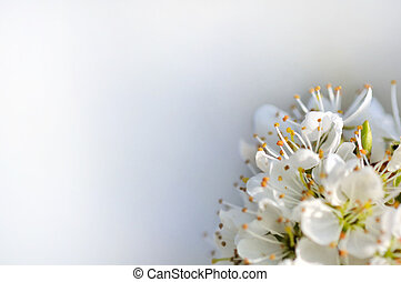 cherry blossom - part of a cherry tree blossom bouquet on...