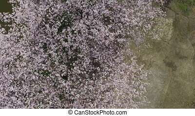 cherry blossom tree - Aerial drone rotate flying, Japanese...