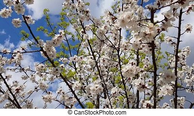 cherry blossom tree - blossoming cherry tree in spring in...