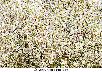 cherry blossom, tree blossoms, many white flowers