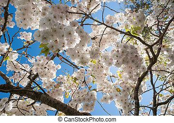 Cherry blossom tree blue skies - Cherry blossom tree and ...