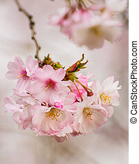 Mini cherry blossom flowers on tree branches in spring