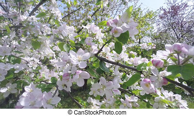 Cherry Blossom Tree, Sakura Flower In Spring. Nature And...