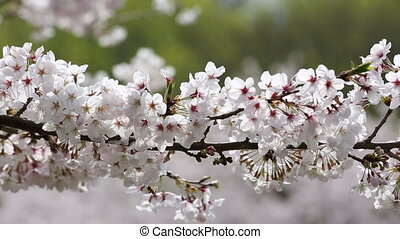 Cherry blossom tree - close up of springtime blooming branch...