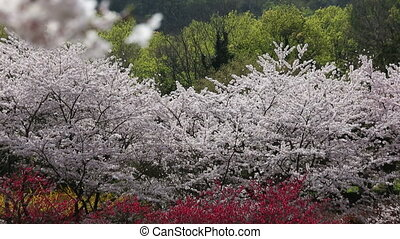 Cherry blossom tree - beautiful cherry blossom trees,...