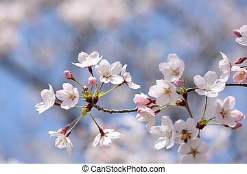 Cherry blossom tree - springtime blooming branch of cherry...