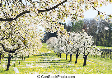 cherry blossom trees at green meadow