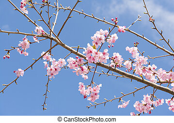 Cherry blossom under blue sky in Spring