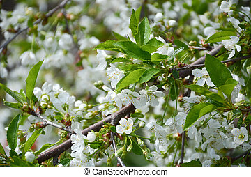 cherry blossom white flowers
