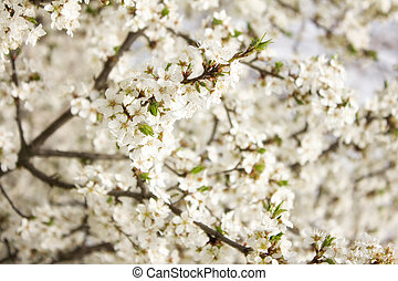 cherry blossom, white tree
