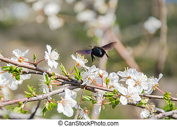 cherry blossom with bee