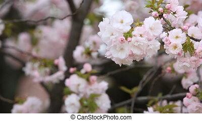 Cherry Blossom with nature background, Sakura season. -...