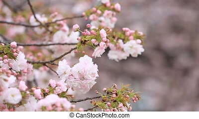 Cherry Blossom with nature background, Sakura season. -...