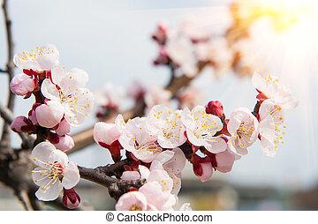 Cherry Blossom with Soft focus, Sakura season Background