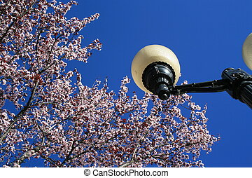 Cherry Blossoms And A Light Pole