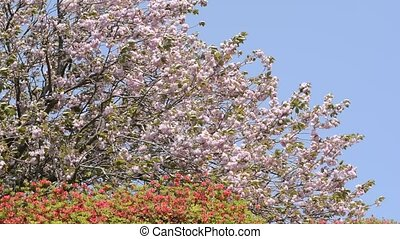 Cherry blossoms and azalea - Pink double cherry blossoms and...