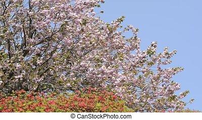 Cherry blossoms and azalea