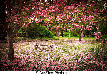 Cherry Blossoms and bench - Tranquil garden bench surrounded...