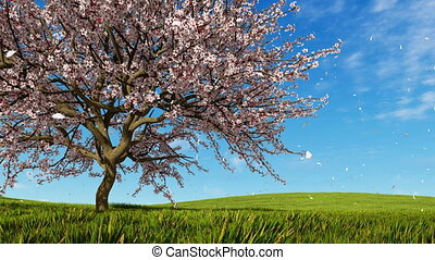 Cherry blossoms and falling petals at spring day - Lush...