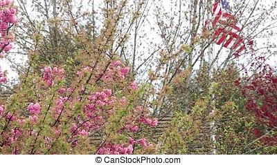 cherry blossoms and usa flag - United States of America flag...