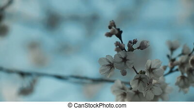 Cherry Blossoms at peak bloom in perfect light. - New cherry...
