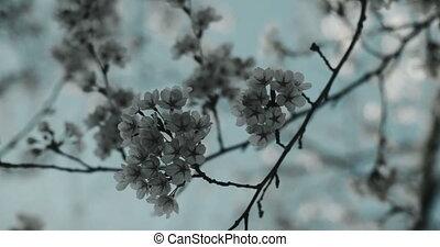 Cherry blossoms at peak bloom.