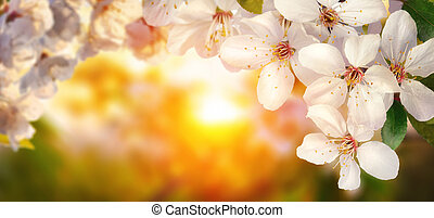 Cherry blossoms at sunset, wide format