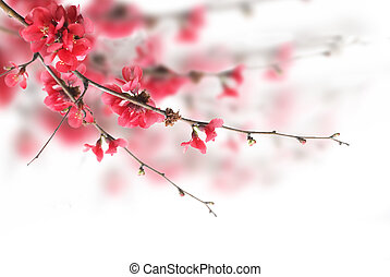 Beautiful pink cherry blossoms over white background