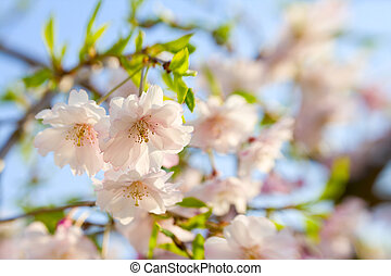 Cherry blossoms - Beautiful weeping cherry flowers....