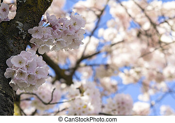Cherry Blossoms Blooming Closeup
