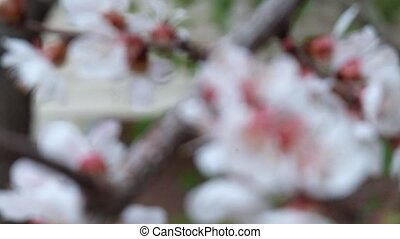 Cherry blossoms blurred, go in focus