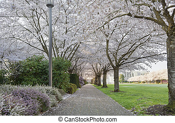 Cherry Blossoms Canopy Along Garden Path - Cherry Blossom...