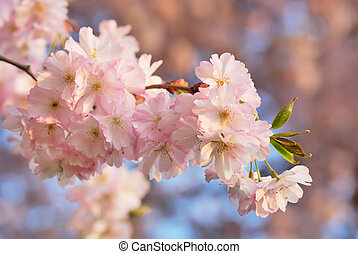 Cherry blossoms close-up