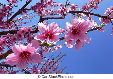 Cherry Blossoms - Close up of cherry blossoms in full bloom...