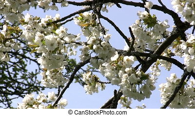 Cherry blossoms - Close-up of cherry blossoms in the wind