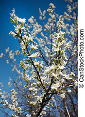 Cherry Blossoms - Flowers of the cherry blossoms on a spring...