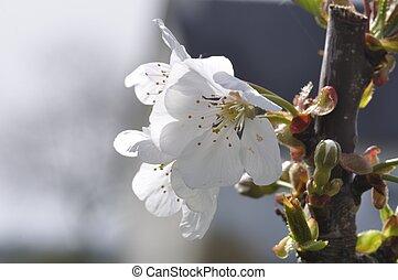 Cherry blossoms in a garden