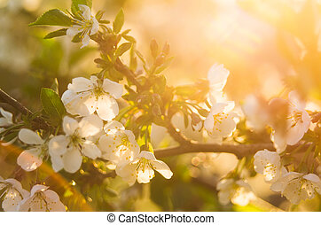 Cherry blossoms in bright warm rays of the spring sun with...