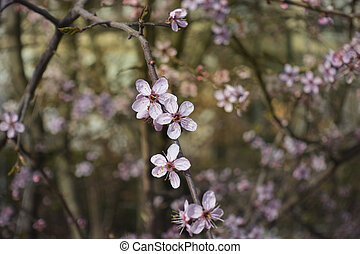 Cherry blossoms in early spring