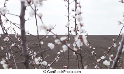 cherry blossoms in front black field - cherry blossom in...