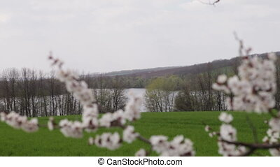 cherry blossoms in front green field - cherry blossoms in...
