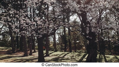 Cherry blossoms in full bloom. - New cherry blossoms arrive...