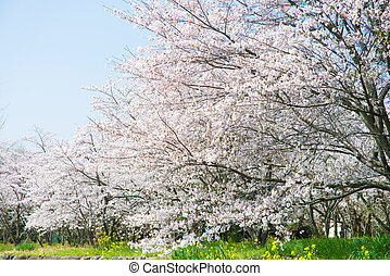 cherry blossoms in full bloom - This is the cherry blossoms...