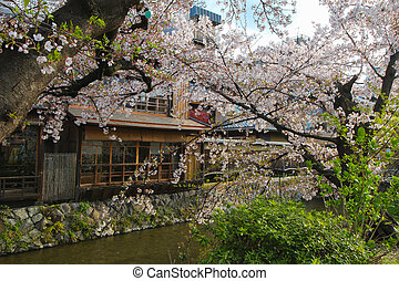 Cherry Blossoms in Gion District, Kyoto, Japan, in Asia - ...