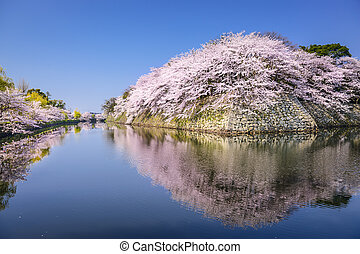 Cherry Blossoms in Hikone, Japan