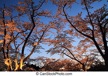 Cherry blossoms in Japan (night scene)