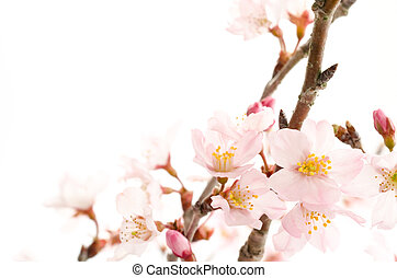Cherry blossoms in lower right over white
