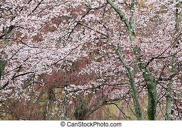 cherry blossoms in Sakura no sato, Izu, Shizuoka, Japan (...