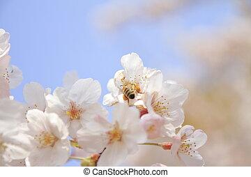 cherry blossoms in Sakura no sato, Izu, Shizuoka, Japan